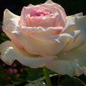 Rose is dew by Raymond Earl Eckert - Flowers Single Flower ( dew; dreoplets; rose; shade; shadow )