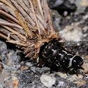 Bagworm Moth; Oruga de Saquito