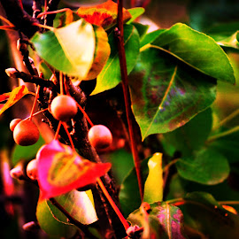 Baby Pears still growing by Linda Blevins - Nature Up Close Gardens & Produce ( tree, pears, pretty, small )