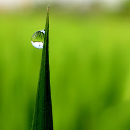 THE WORLD IS REFLECTED IN A SMALL DEW  DROP... by Mainak Ghosh - Nature Up Close Leaves & Grasses ( reflection, green fied, nature, dew drop )