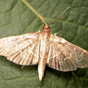 Scraped Pilocrocis Moth