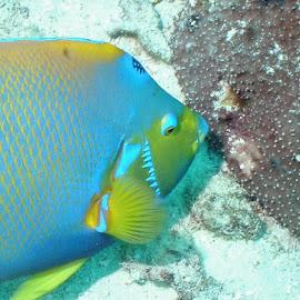 Queen Angel Fish by Tiffany Taylor - Animals Fish ( , sea creatures, underwater life, ocean life )