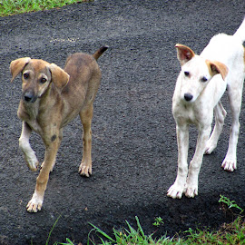 Brother and Sister by Gaurav Kumar - Animals - Dogs Playing ( sister, playing, puppies, dogs, brother,  )