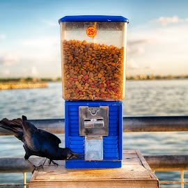 Dinner Time by Robb Harper - Artistic Objects Other Objects ( water, bird, bird feed, photos by robb harper, boardwalk )