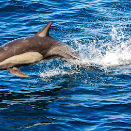 Common Dolphin by Sally Shoemaker - Animals Sea Creatures