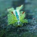 Stinging Nettle Caterpillar