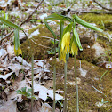 Large-Flowered Bellwort