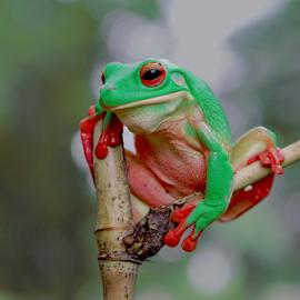 Nosed frog green by Ubayoedin As Syam - Animals Amphibians