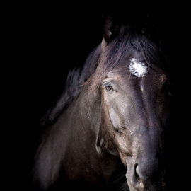 Alpha 2 by Erik Kunddahl - Animals Horses ( mare, equine, equstrian, riding, horse )