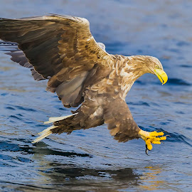 Meal in sight by Arnstein Dale - Animals Birds ( flight, bird of prey, sea eagle, nikon, norway )