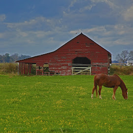 Barn and horse by Ron Olivier - Landscapes Prairies, Meadows & Fields ( barn and horse )