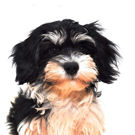 by Robert Hälg - Animals - Dogs Puppies
