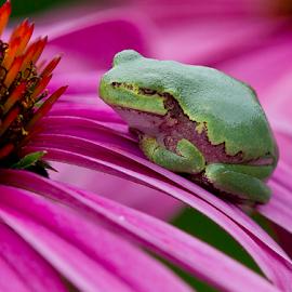 Just a Bit Grumpy by Mark Nicholson - Animals Amphibians ( mark nicholson, frog, green, tree frog, grumpy, close up, purple cone flower,  )