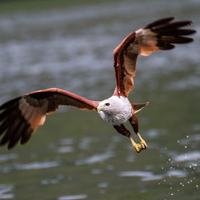 Brahimy kite by Ralf Harimau Weinand - Animals Birds ( april 2014, mangroventour, brahminy kite )