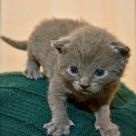 Chartreux kitten by Serge Ostrogradsky - Animals - Cats Kittens ( 3weeks, kitten, chartreux kitten, chartreux )