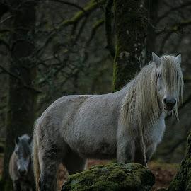 Scottish Ponies . by David Ramsay - Animals Horses