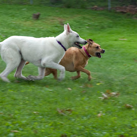Me First! by Pamela NavarraWilliams-Shane - Animals - Dogs Running ( staffordshire terrier, grass, dogs racing, white german shepherd, dogs running )