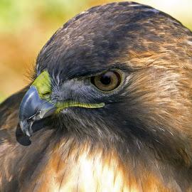 HawkStare2 by Joanne Burke - Animals Birds