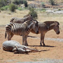 Zebra by James Moffat - Novices Only Wildlife ( pilanesberg, south africa, horses with pyjamas, wildlife, zebra )
