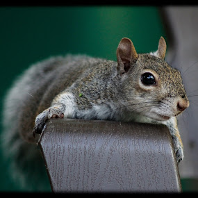 I am waiting! by Debra Martins - Animals Other Mammals ( nature, wildlife, squirrel, animal )