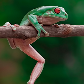 My Pose.... by Vincent Sinaga - Animals Amphibians