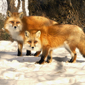 Curious Foxes by Betty Arnold - Animals Other Mammals ( fox, fox pair, foxes, animal, red fox )