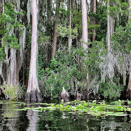 Shoreline by Mo Harmon - Nature Up Close Trees & Bushes ( water, lilypads, reflection, nature, waterscape, trees, cypress )