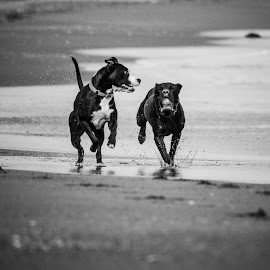 Beach dogs by Celeste de Jong - Animals - Dogs Running ( playing, ball, dogs, happy, running, sun )