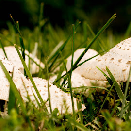 Mushroom village by Js Rose Photography - Nature Up Close Mushrooms & Fungi ( plant, fungi, white, fungus, mushrooms )