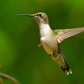 Me Too, Me Too by Roy Walter - Animals Birds ( animals, hummingbird, wildlife, birds )