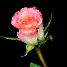 Rose by Irena Gedgaudiene - Flowers Single Flower ( black background, rose, dew, pink, bud, blacj background, rose bud, flower,  )