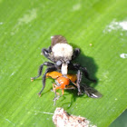Bee Like Robber Fly