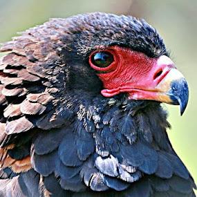 Portrait by Pieter J de Villiers - Animals Birds ( portrait of a bateleur, animals, canon sx50hs, south africa, kgalagadi transfrontier park, birds, bateleur, raptors,  )