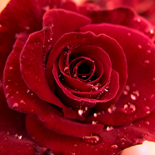 3D Love Roses Live Wallpaper