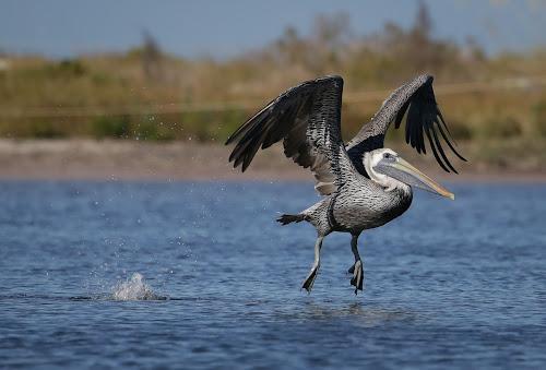 Landing Gear Deployed by Jared Lantzman - Animals Birds ( bird, nature, wings, nest, pelican, birds,  )