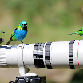 Tanagers II  by Itamar Campos - Animals Birds ( female, saira militar, male, green headed tanager, saira sete cores )