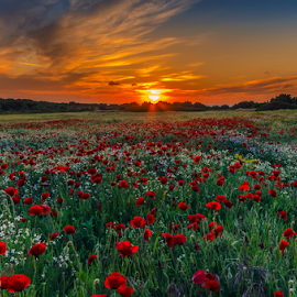 poppies and sunset colors by George Papapostolou - Landscapes Sunsets & Sunrises ( field, george papapostolou, colors, sunset, poppies, landscape, nikon,  )