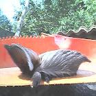 Taturana-gatinho ou Taturana-cachorrinho