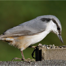 Nuthatch by Hans Olav Beck - Animals Birds