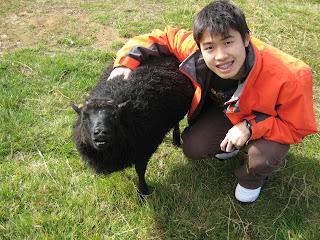 Black Sheep in Iceland Barn
