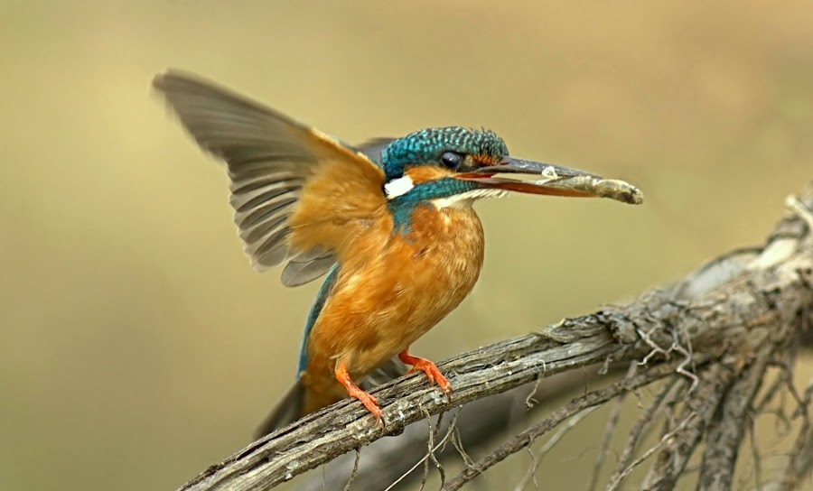 Kingfisher  by Prasanna Bhat - Animals Other