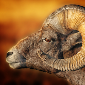 Badlands Ram by Nickel Plate Photographics - Animals Other Mammals