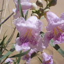 Desert-willow