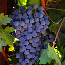 Grapes that produce wine by Sanjib Paul - Food & Drink Fruits & Vegetables ( wine, blue, grapes, sonoma, winery )