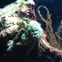 Emerald Green Crab