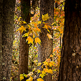 Hidden by Susan Farris - Nature Up Close Trees & Bushes ( hidden, trees, forest, yellow, leaves, maple )