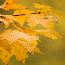 Yellow Leaf by Jessica Williams Bender - Nature Up Close Leaves & Grasses ( fall, yellow leaves, leaves,  )