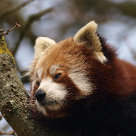 Dozy by Garry Chisholm - Animals Other Mammals ( bear, garry chisholm, red, nature, panda, wildlife )