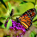 Monarch Butterfly (male)
