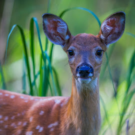 Curious Fawn Portrait by Chris Hurst - Animals Other Mammals ( white tail fawn, whitetail deer, whitetail fawn, whitetail, white tail, white tail deer, fawn, deer,  )